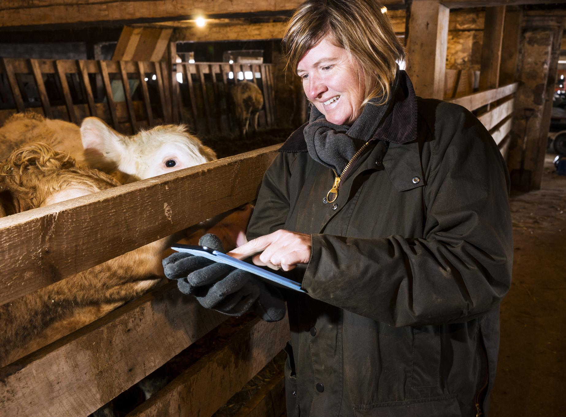 Woman with tablet in cowshed