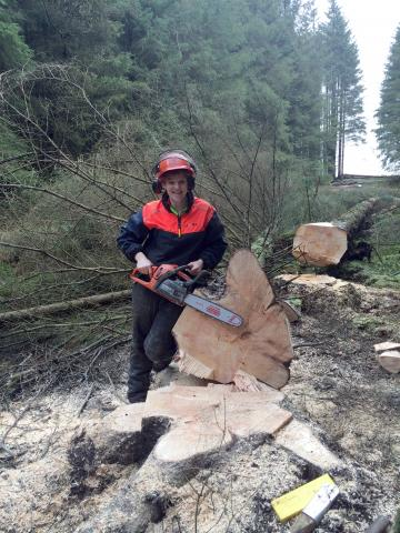 Forester cutting down tree with chainsaw